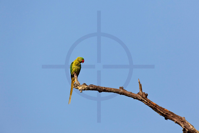 Rose-ringed parakeet (female), Chitwan, Nepal