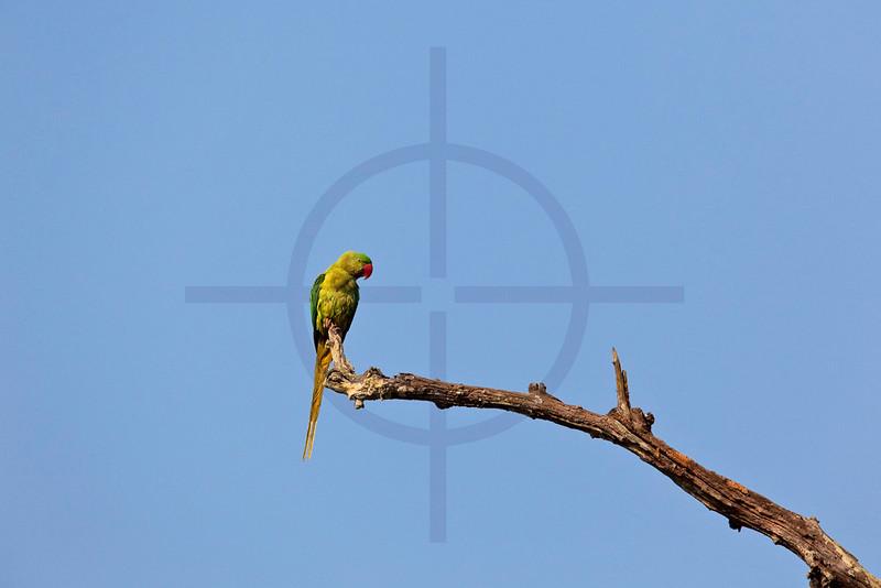 Rose-ringed parakeet (female), Chitwan, Nepal