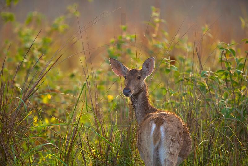 Swamp deer (doe) looking back, Royal Bardia National Park, Nepal