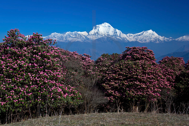 Dhaulagiri and Tukuche Peak with blooming rhodondendrons in front, near Guring Hill,  Annapurna Massif, Nepal