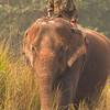 Mahout on Asian elephant, Chitwan National Park, Nepal