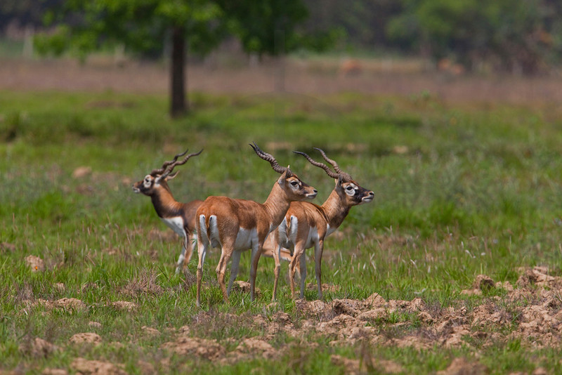 Blackbucks (females and male), Blackbuck Conservation Area, Khairapur VDC, Bardia District, Nepal