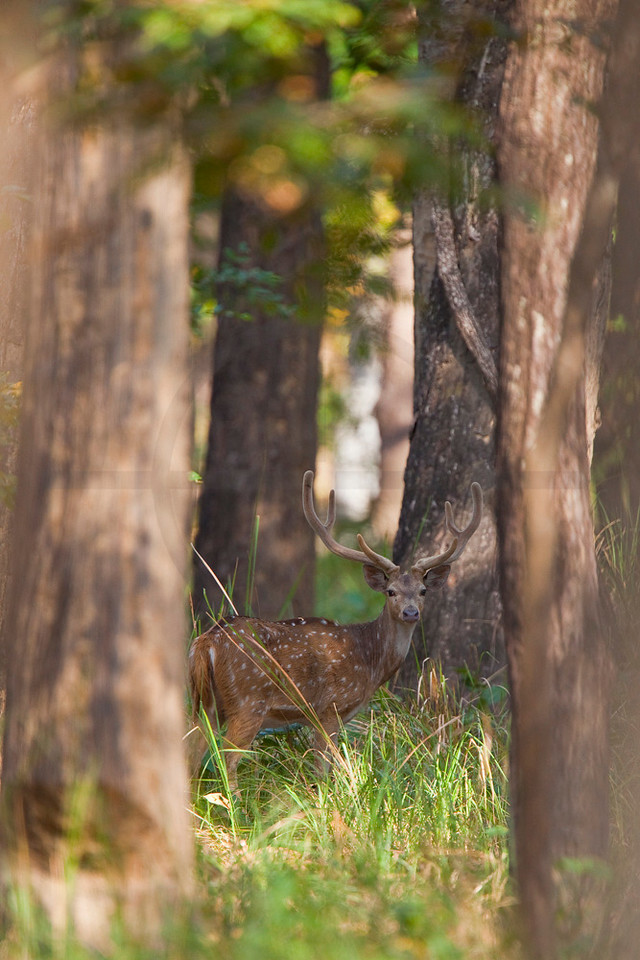 Spotted deer (buck) looking up, Royal Bardia National Park, Nepal
