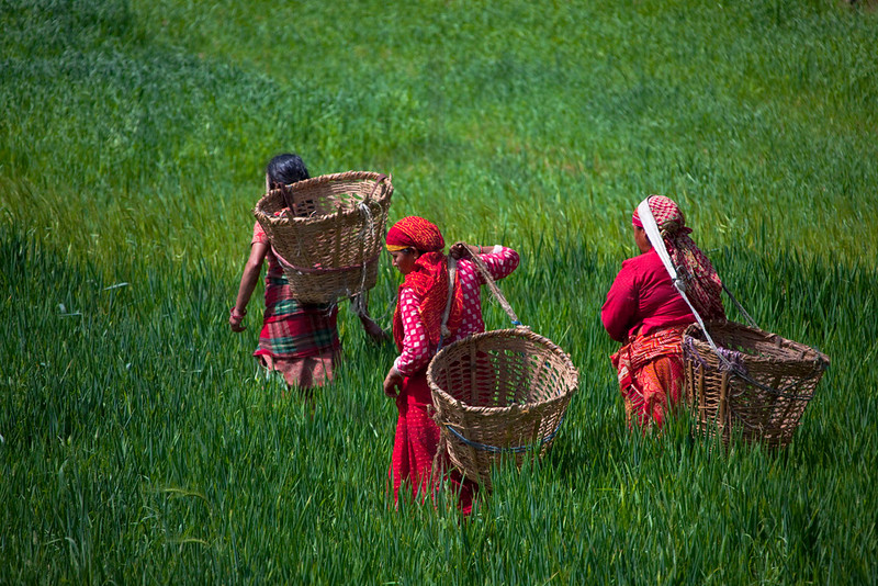 Nepali women walking through a wheat field with baskets to collect forage plants for their cattle, Kathmandu Valley, Nepal