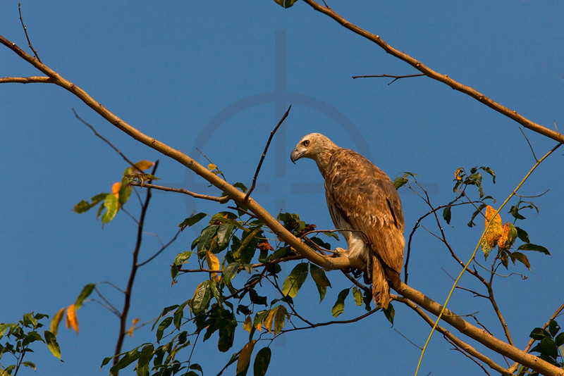 Lesser fish eagle (juvenile) (?), Rapti River, Royal Chitwan National Park, Nepal