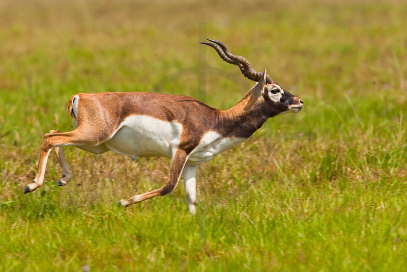 Blackbuck (male) bolting, Blackbuck Conservation Area, Khairapur VDC, Bardia District, Nepal