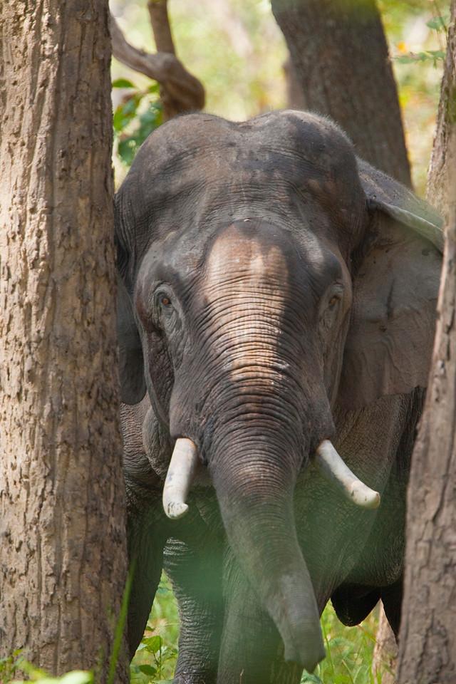 Wild Asian elephant (male), Royal Bardia National Park, Nepal