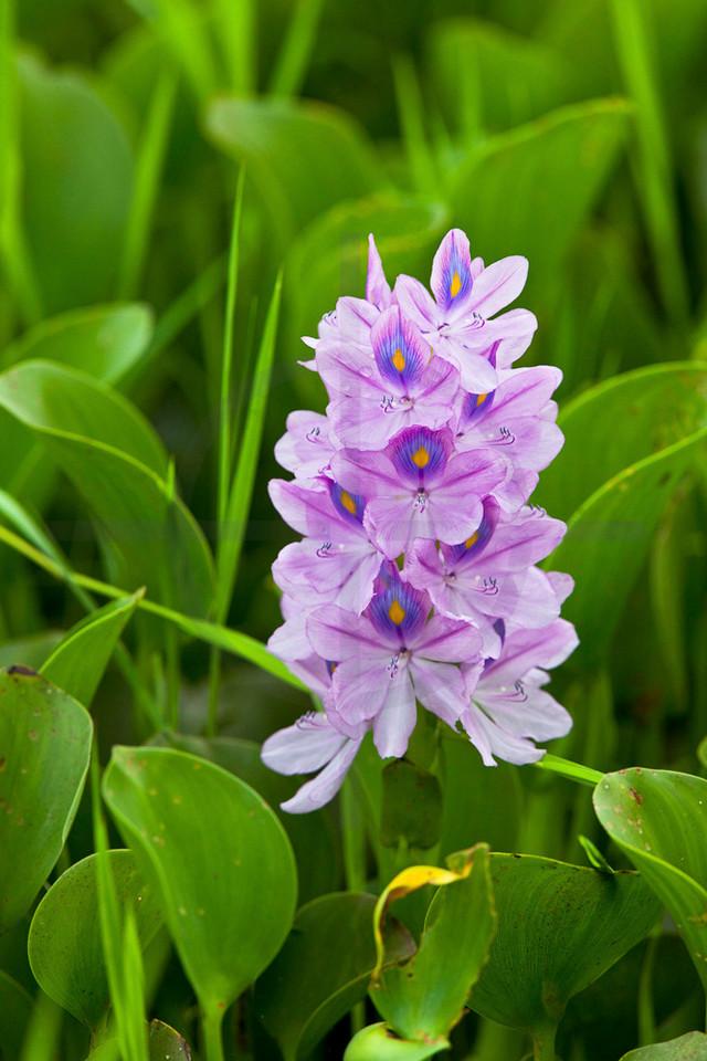 Water hyacinth, Bis Hajaar Tal, Terai, Nepal