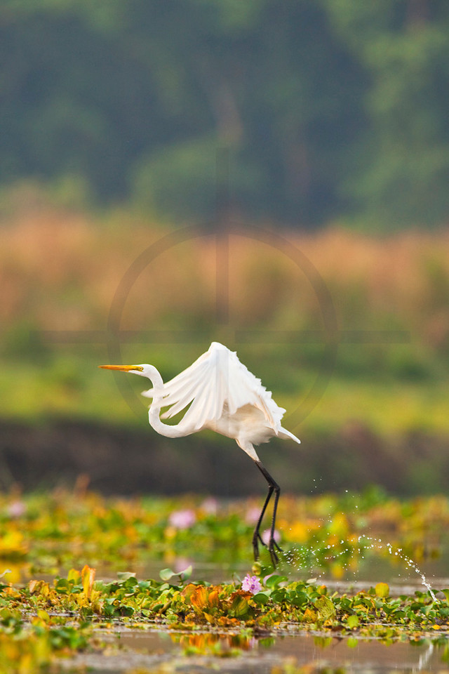 Great egret taking off, Royal Chitwan National Park, Nepal