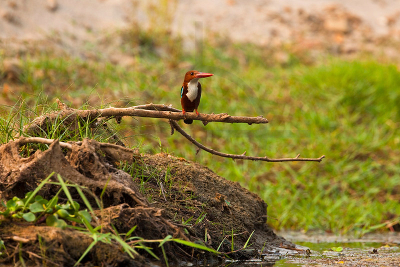 White-throated kingfisher, Chitwan National Park, Nepal