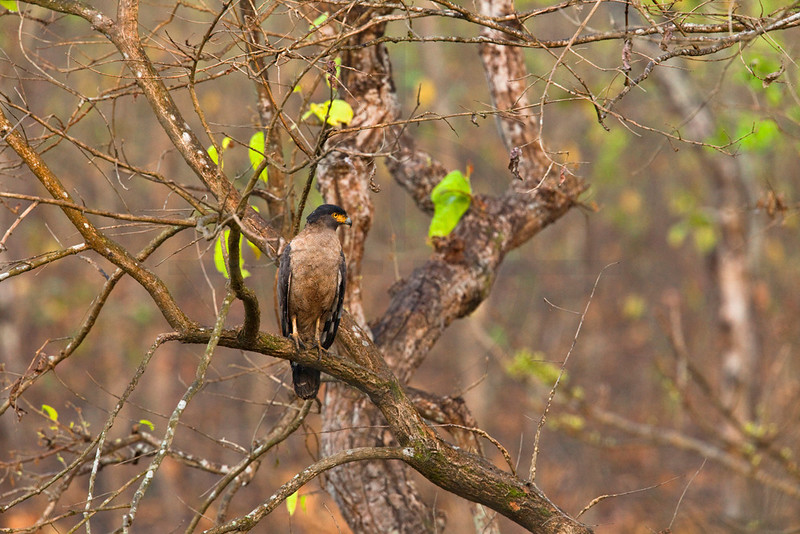 Crested serpent eagle, Bis Hajaar Tal, Nepal