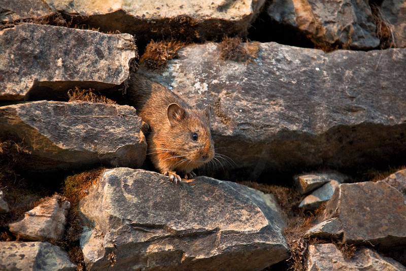Royle's pika, Machhapuchchhre Base Camp, Annapurna Sanctuary, Nepal