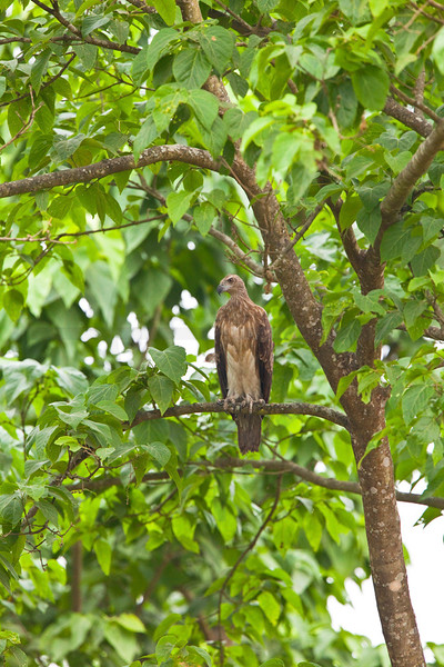 Grey-headed fishing eagle (male, juvenile), Bis Hajaar Tal, Terai, Nepal