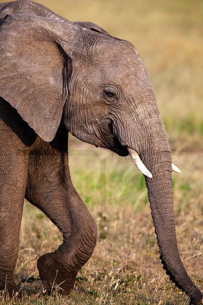 Young elephant, Masai Mara National Reserve, Kenya