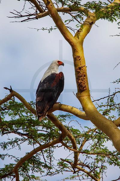 African fish eagle perched on a fever tree branch, Lake Nakuru National Park, Kenya
