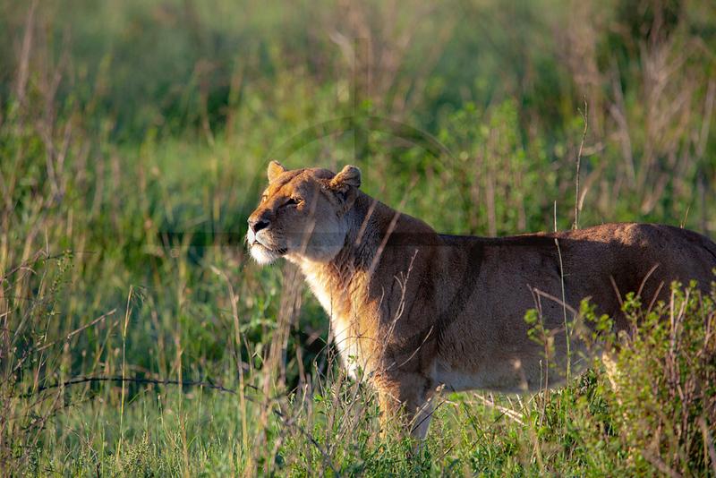 Watchful lioness, Serengeti National Park, Tanzania