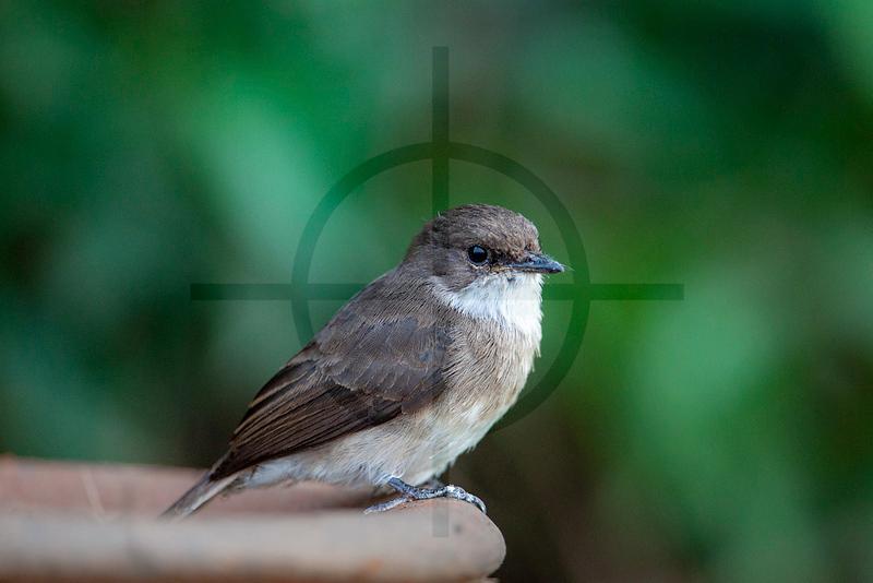 Swamp flycatcher, Mweya Campsite, Queen Elizabeth National Park, Uganda