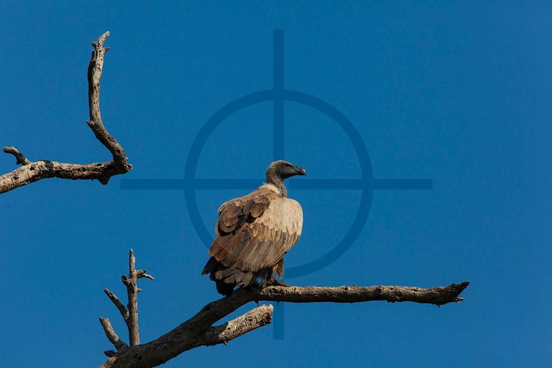 White-backed vulture, Masai Mara National Reserve, Kenya