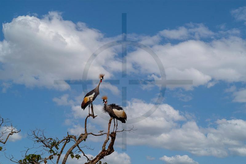 Grey crowned cranes, Bigodi Wetland Sanctuary, Fort Portal, Uganda