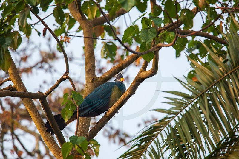 Great blue turaco, Bigodi Wetland Sanctuary, Fort Portal, Uganda