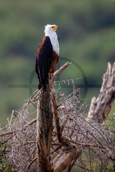African fish eagle, Kazinga Channel, Queen Elizabeth National Park, Uganda