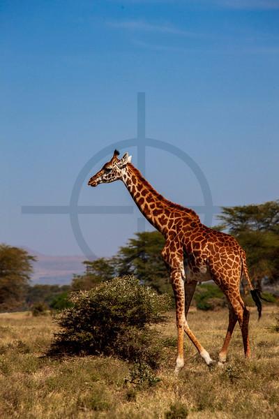 Masai giraffe, Crescent Island, Lake Naivasha, Kenya