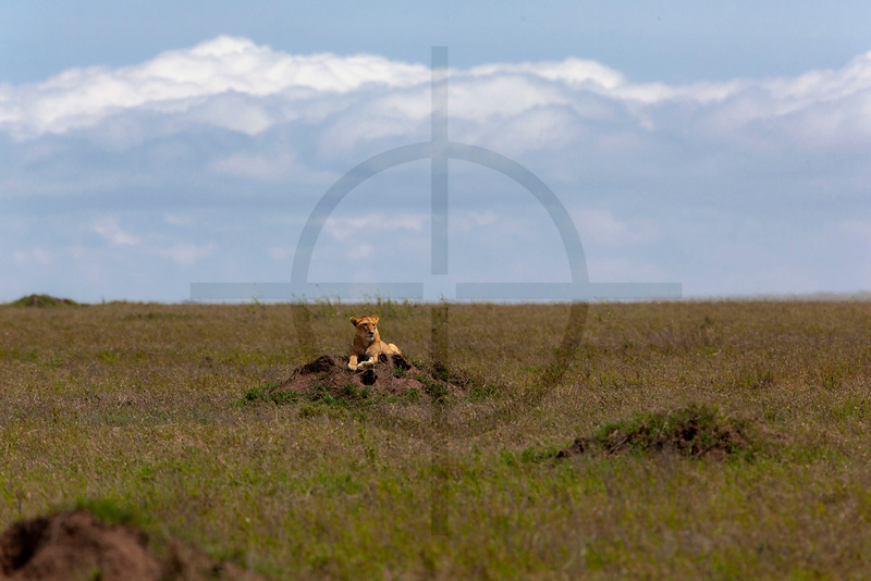 Lioness at rest on a mound, Serengeti National Park, Tanzania