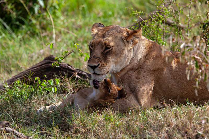Safe in mommy's paws, cub and lioness, Masai Mara National Reserve, Kenya