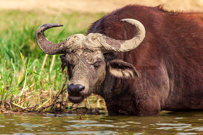 African buffalo, Kazinga Channel, Queen Elizabeth National Park, Uganda