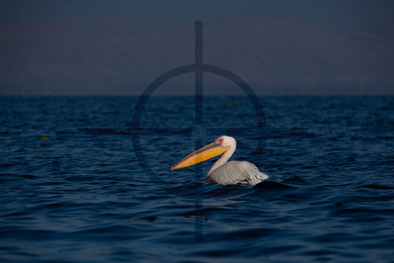 Great white pelican, Lake Naivasha, Kenya