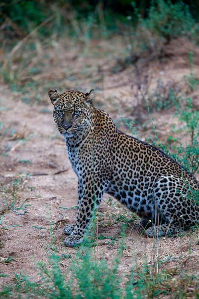 Leopard (female), Leopard Loop, Queen Elizabeth National Park, Uganda