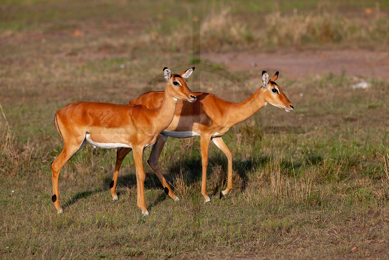 Female impala, Masai Mara National Reserve, Kenya