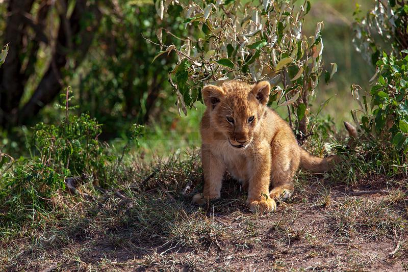 Very young lion cub, Masai Mara National Reserve, Kenya