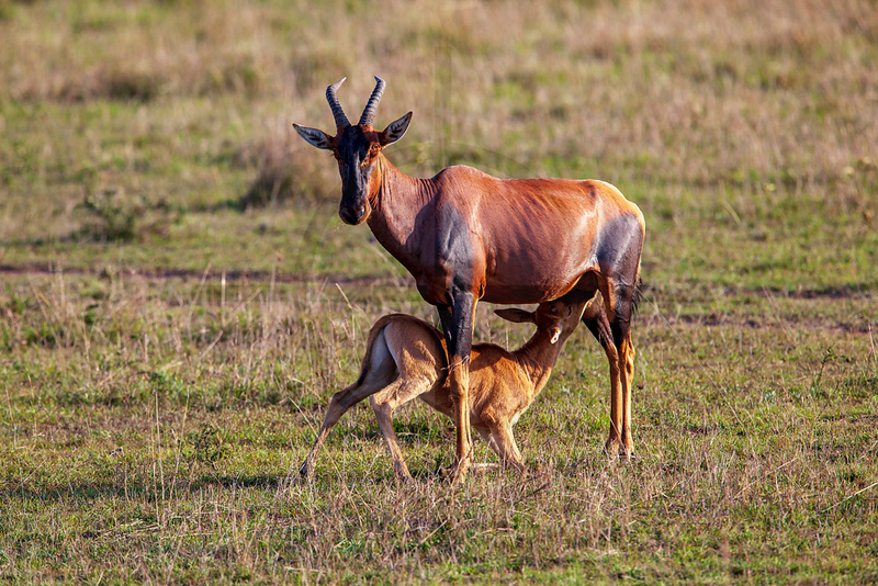 Suckling topi calf and mother, Masai Mara National Reserve, Kenya