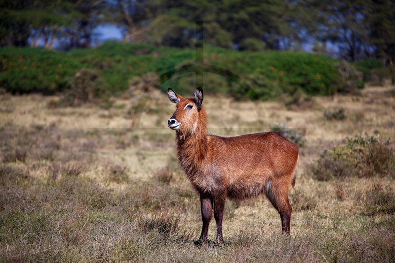 Defassa waterbuck  (female), Crescent Island. Lake Naivasha, Kenya