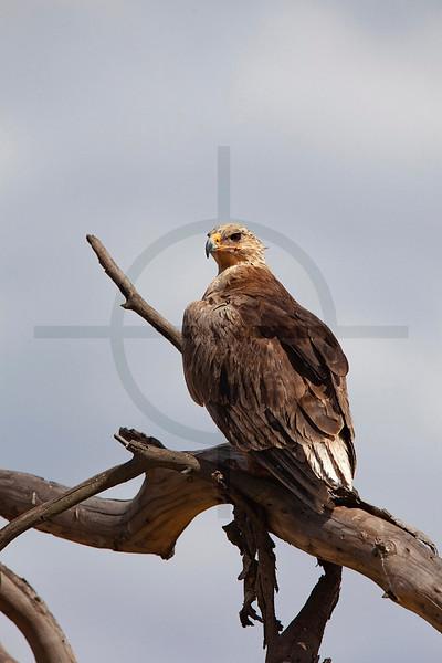 Juvenile African fish eagle, Lake Nakuru National Park, Kenya