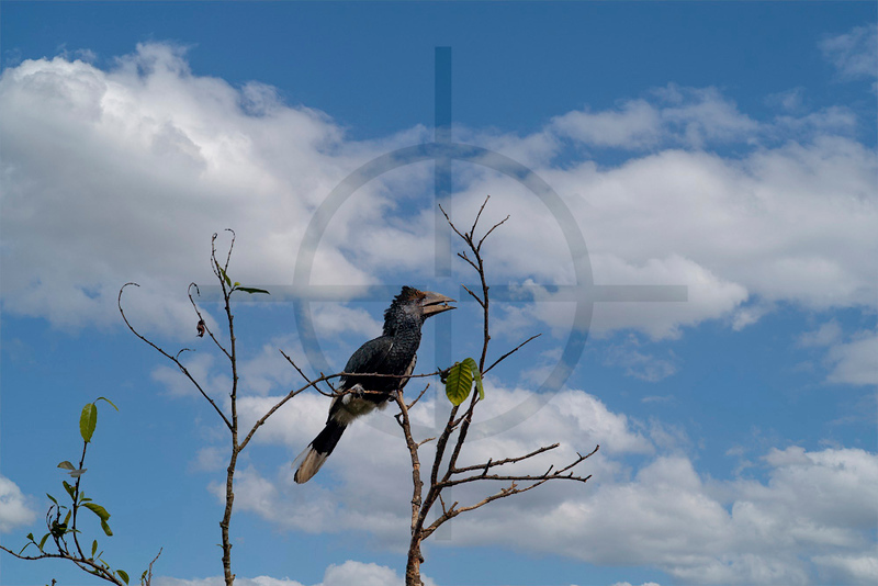 Black-and-white-casqued hornbill (female), Bigodi Wetland Sanctuary, Fort Portal, Uganda