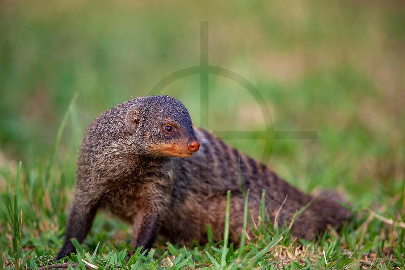 Banded mongoose, Mweya Campsite, Queen Elizabeth National Park, Uganda