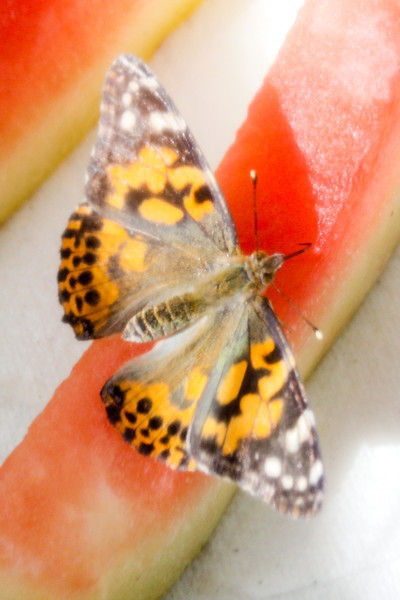 This is the first time I have ever see a butterfly's proboscis. It was really exciting to see it curl out and in. Then a little creepy to see it feeling around as it looked for good juice.