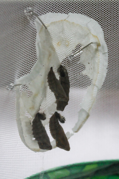 After all of the chrysalises are formed, we reattach them to the inside of our butterfly pavilion.