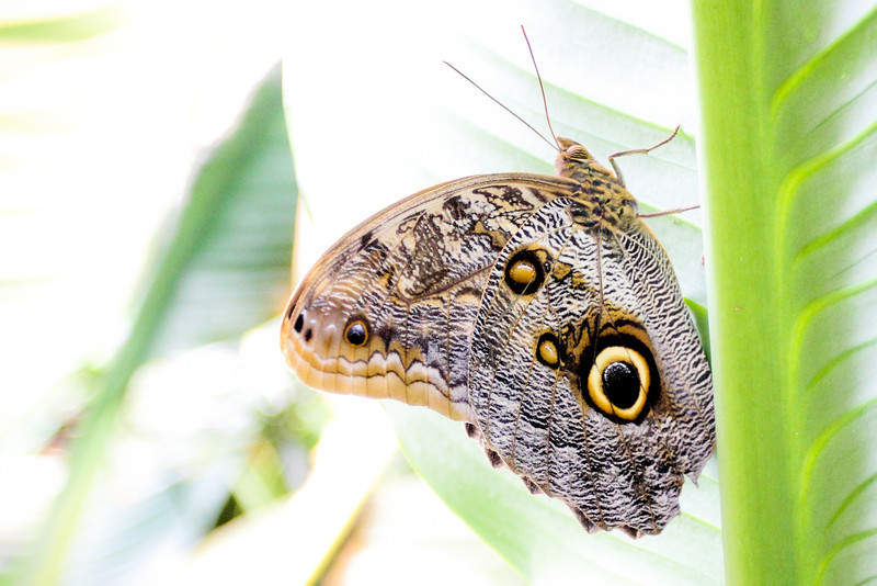 I can't tell what this butterfly's defense is. I can see both an owl eye (right side) and a snake face (left side). I guess if I were an animal in the jungle, I wouldn't bother this one!