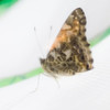 A fuzzy portrait of our first butterfly! We took our photos through the mesh of the pavilion.