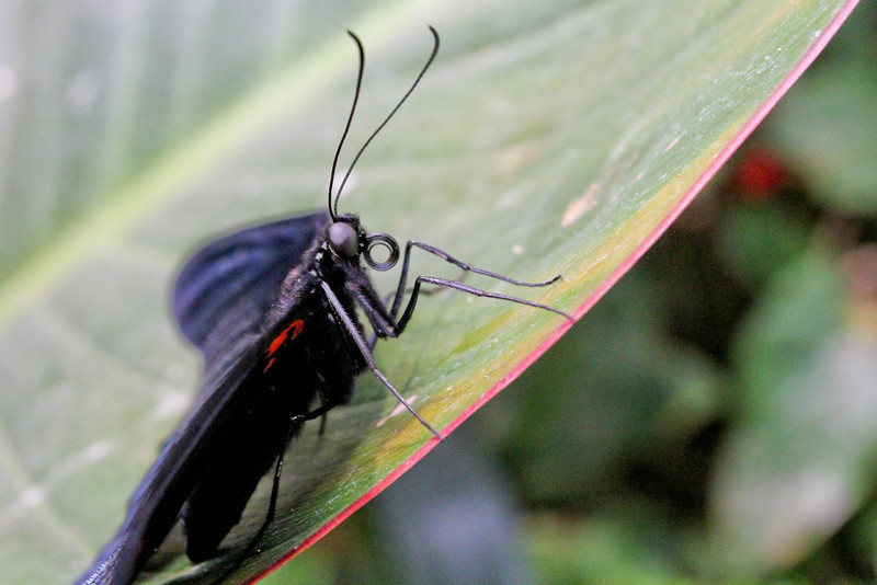 """That curled-up """"thing"""" is the butterfly's proboscis that is used to drink nectar."""