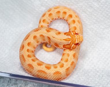 19-10b,  Female Albino Conda 50% Het Axanthic