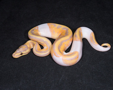 1814_M Banana Pied, $550