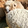 080314_Sheep-4