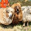 080314_Sheep-19