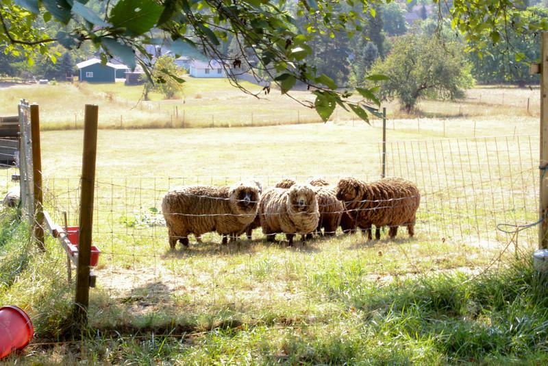 080314_Sheep-1