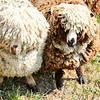 080314_Sheep-5