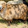 080314_Sheep-16